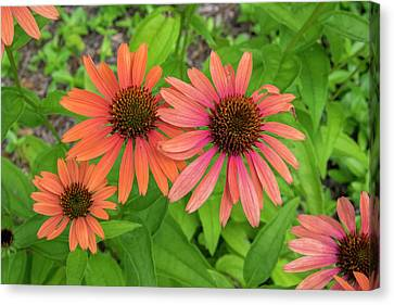 Coneflower Canvas Print - Orange Coneflower, Vermont, Usa by Lisa S. Engelbrecht