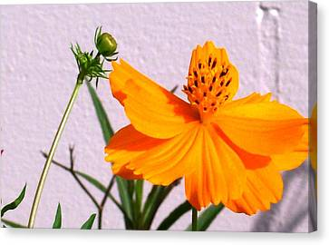 Neon Bright Orange Cosmos Canvas Print