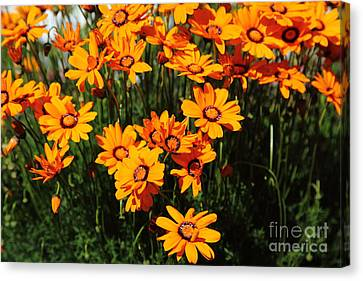 Orange Daisies 5d22463 Canvas Print by Wingsdomain Art and Photography