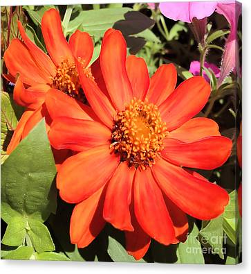 Orange Daisy In Summer Canvas Print by Luther Fine Art