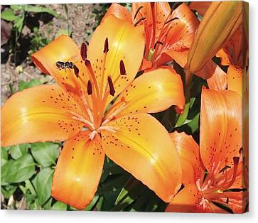 Orange Daylily Canvas Print