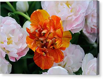 Orange Flower Canvas Print by Haleh Mahbod