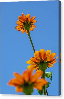 Orange Flowers On Blue Sky Canvas Print by Debbie Karnes