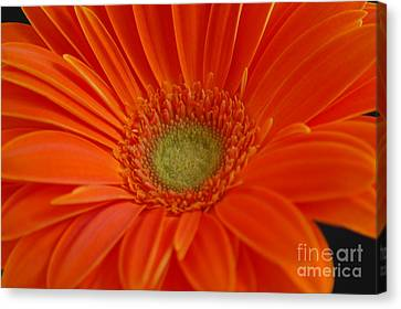 Orange Gerber Daisy Canvas Print