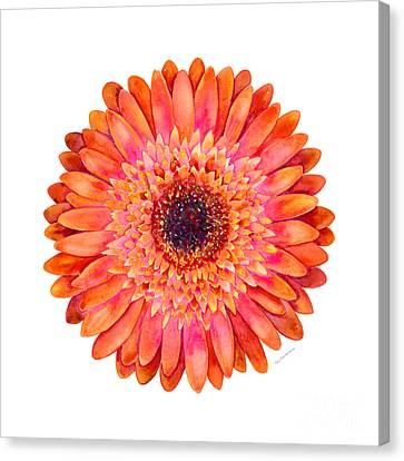 Orange Gerbera Daisy Canvas Print by Amy Kirkpatrick