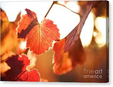 Orange Grapevine Leaves Canvas Print by Charmian Vistaunet