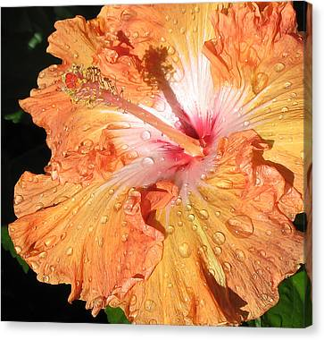 Orange Hibiscus After The Rain Canvas Print by Connie Fox