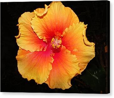 Orange Hibiscus Canvas Print by Cindy Croal