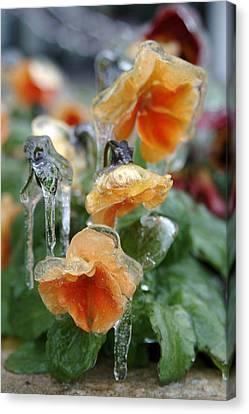Orange Iced Pansies Canvas Print