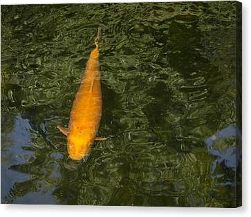 Orange Koi With Reflections Canvas Print by Jean Noren
