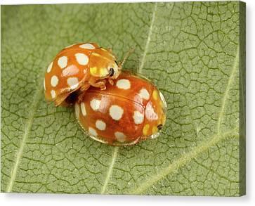 Beetle Canvas Print - Orange Ladybirds Mating by Nigel Downer
