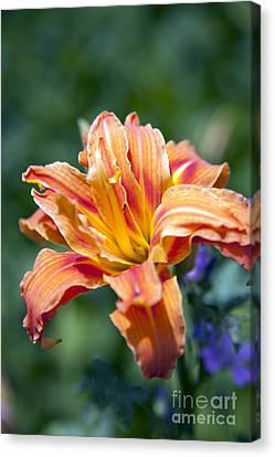 Orange Lily Canvas Print by Amanda Barcon