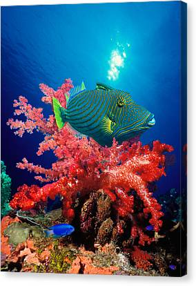 Orange-lined Triggerfish Balistapus Canvas Print by Panoramic Images