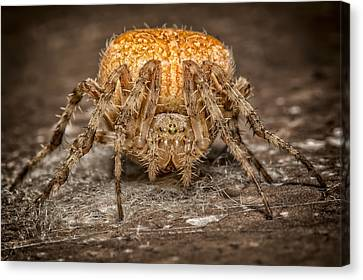 Orange Marbled Orb Weaver Canvas Print by Adam Romanowicz