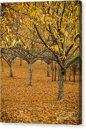 Orange Orchard Canvas Print by Tim Hester