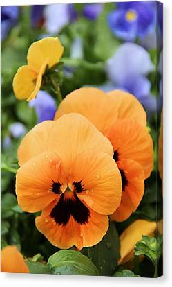 Canvas Print featuring the photograph Orange Pansies by Elizabeth Budd