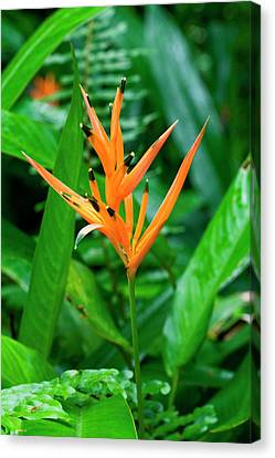 Orange Parrot Heliconia (heliconia Canvas Print by Susan Degginger