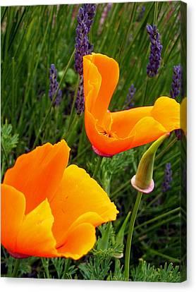 Orange Poppies With Lavender Canvas Print