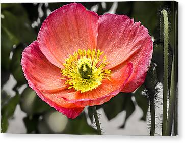 Orange Poppy Canvas Print by Photographic Art by Russel Ray Photos
