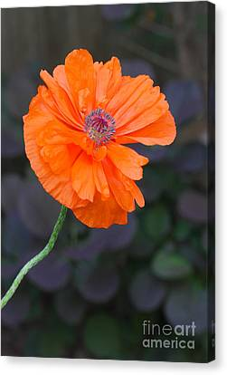 Orange Poppy Canvas Print by Steve Augustin