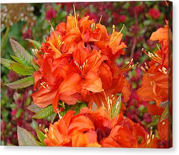 Orange Rhododendron Flowers Art Prints Canvas Print by Baslee Troutman