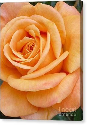 Orange Rose Blossom Special Canvas Print
