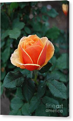 Canvas Print featuring the photograph Orange Rose by Eva Kaufman