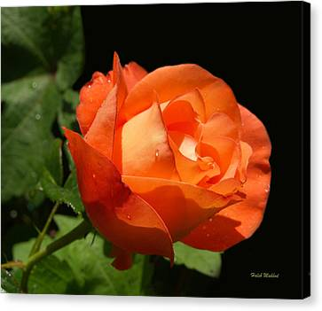Canvas Print featuring the photograph Orange Rose by Haleh Mahbod