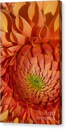 Canvas Print featuring the photograph Orange Sherbet Delight Dahlia by Susan Garren