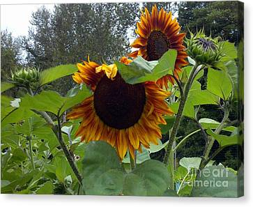 Canvas Print featuring the photograph Orange Sunflowers by Polly Anna