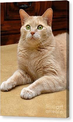 Orange Tabby Cat Canvas Print by Amy Cicconi