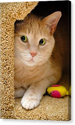 Orange Tabby Cat In Cat Condo Canvas Print by Amy Cicconi