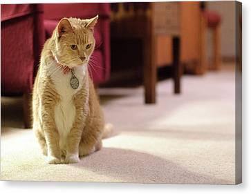Orange Tabby Housecat Stares Canvas Print by Matt Freedman