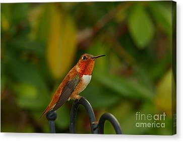 Orange Throated Hummingbird Canvas Print