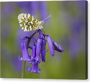 Orange Tip Butterfly On English Canvas Print by Richard Garvey-Williams
