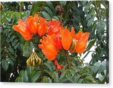 Canvas Print featuring the photograph Orange Tree Blossoms by Lew Davis