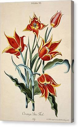 Horticultural Canvas Print - Orange Tulip by Conrad Gesner