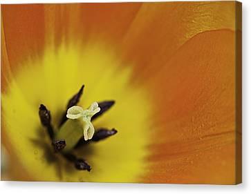 Orange Tulip Macro Canvas Print by Lesley Rigg
