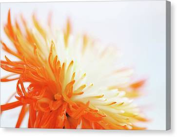 Orange Whisper Canvas Print by Lisa Knechtel