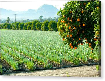 Oranges On A Tree With Onions Crop Canvas Print by Panoramic Images
