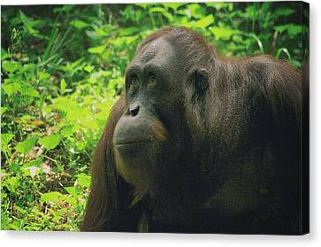 Canvas Print featuring the photograph Orangutan by Dennis Baswell