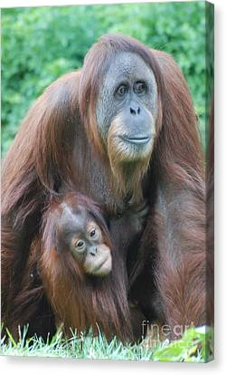 Orangutan Canvas Print by DejaVu Designs