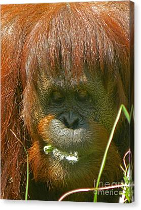 Orangutan Eating Green Canvas Print by Emmy Marie Vickers