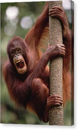 Orangutan Hanging On Tree Canvas Print by Gerry Ellis