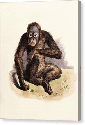 Orangutan Canvas Print by King's College London