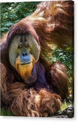 Orangutan Canvas Print by Rob Amend