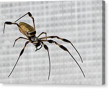 Orb Spider 4 Canvas Print by Lynn Andrews