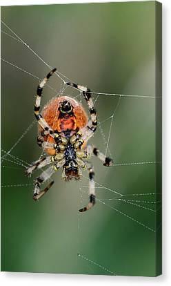 Orb Weaver Spider Canvas Print by Colin Varndell