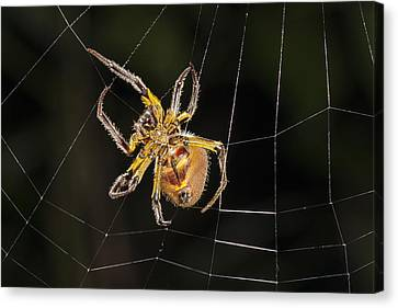 Orb-weaver Spider In Web Panguana Canvas Print by Konrad Wothe