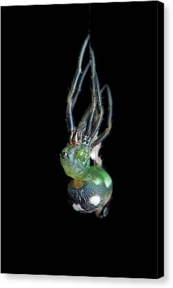 Orb-weaver Spider Moulting Canvas Print by Melvyn Yeo